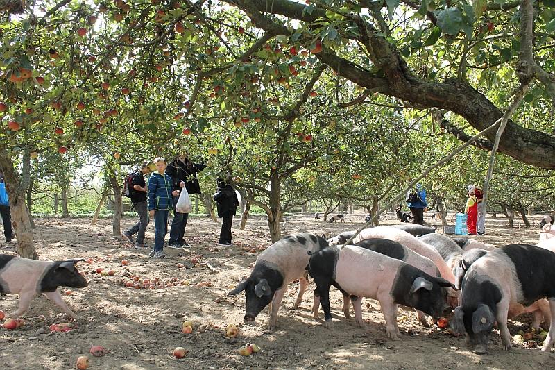 Příchozí si mohli na dni otevřených vrat Biofarmy Sasov natrhat i jablka ve starém jablečném sadě, který jinak patří čuníkům.